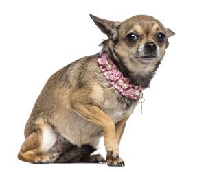 nervous chihuahua