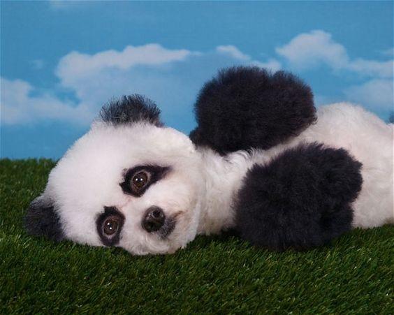 Panda doggo